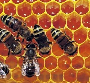 Bee-Propolis-