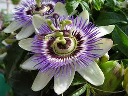 Floarea pasiunii